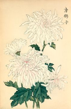 Printed illustration of a chrysanthemum variety 'Karashishi' translated as possibly meaning 'Chinese Lion' taken from the Japanese publication A Hundred Chrysanthemums by K Hasegawa. Creator Hasegawa, Keikwa (Author) Date 1891 Art Aquarelle, Watercolor Art, Plant Illustration, Botanical Illustration, Japanese Painting, Chinese Painting, Oriental Flowers, Nature Drawing, Japanese Flowers
