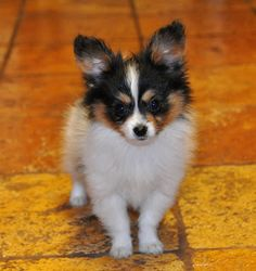10 week old Papillon puppy. So cute!!