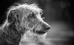 Cinders the Lurcher