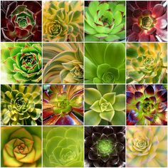 I will never tire of looking at these ...  beautiful aeoniums by .scarlet., via Flickr