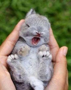 yawning baby bunny