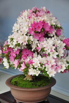JPB: Satsuki Festival in Ueno, Tokio. Rhododendron indicum Source by jerlitschka . Flowering Bonsai Tree, Bonsai Tree Types, Bonsai Plants, Bonsai Garden, Cacti Garden, Cactus Plants, Mini Plants, Cool Plants, Ikebana