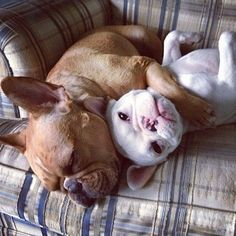 """""""Mine, all mine...."""", Big Brother & Lil' Sister French Bulldogs."""