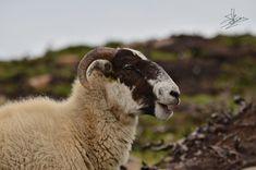 Scozia: come organizzare un viaggio on the road da soli - 50sfumaturediviaggio Round Trip, Animals, Animales, Animaux, Animal, Animais