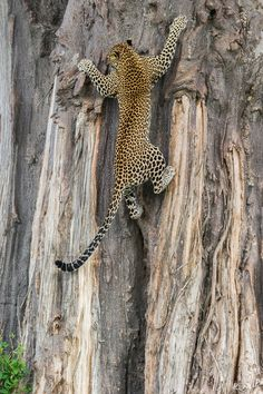 "<3  A Female Leopard Named: ""Furaha"" (Which in Swahili means: ""Joy."") Photographed Climbing a Giant Baobab Tree in Ruaha National Park, Tanzania.  (This superb photograph was taken By: Marc MOL who titled it: ""Get me A Ladder!""   Very Impressive Photograph Mr. MOL!)"