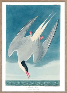 Arctic Tern – Paper Ministry