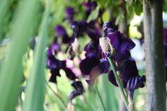 iris in garden landscaping in headingley garden, leeds