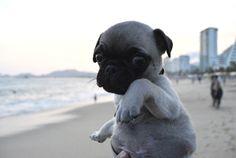 Baby beach pug