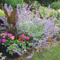 """Cataire 200 graines-Hardy vivace Nepeta /""""mussinii/"""""""