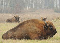 Żubry (wisents / aurochs / European bisons / Bison bonasus) w Puszczy Białowieskiej. Autor zdjęcia: Włodzimierz Cimoszewicz. #żubr