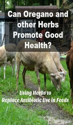 Can oregano and other herbs promote good health? Using herbs to replace antibiotics in feeds.