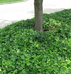 English Ivy Hedera Helix Groundcover - 100 Rooted Cuttings, 2015 Amazon Top Rated Vines #Lawn&Patio