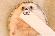 Japanese-hedgehog-marutaro-13