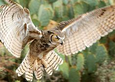 Although mainly nocturnal, great horned owls sometimes hunt during daylight…