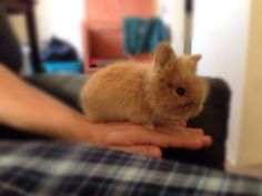 Month old dwarf lion head bunny rabbit ! Cute ! Just in time for Easter !