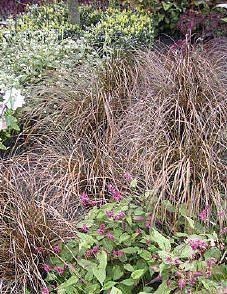 De Carex buchananii met zijn bruin bronsachtig blad