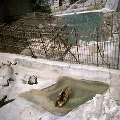 Memories of my mother throwing an ice cream into the bear enclosure in 1990. The poor animals fighting over it.  Belgrade zoo, Serbia. © Dragana Jurisic