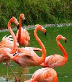 Foto : Flamingo-rosado