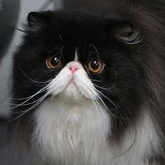 Persian cats are so ugly they are cute with there smashed in faces :)