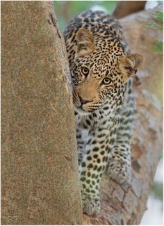 Young leopard in Zimanga Private Game Reserve on Mkuze River Private Games, Game Reserve, Four Legged, Wildlife, Coast, Elephant, River, Friends, Animals
