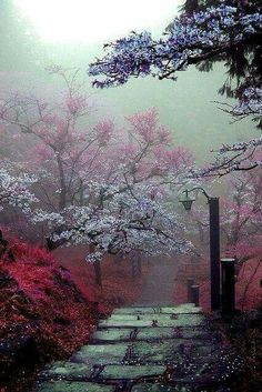 Japan. Cherry blossoms.
