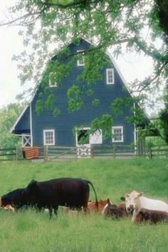 Blue barn and cows                                                       …