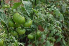 Así está la segunda de las cosechas de pepeRaf. Preciosos verdad?