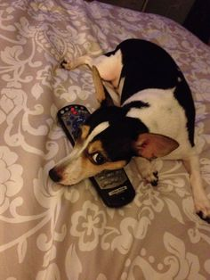 My Rat Terrier and the remote