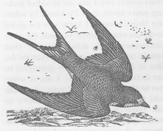 Vintage black and white illustration of a swallow in flight.