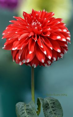 ~~Show off! | Skipley Spot Dahlia - red and white bicolored, small decorative, long lasting and showy | by Robin Evans~~