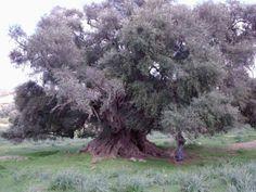 Il Castagno dei cento cavalli: in Sicilia l'albero piu' antico d'Europa