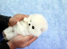 Adorable teacup pomeranian by Bow Pup, via Flickr