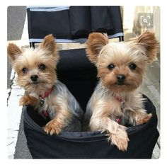 #YorkshireTerrier  will definitely get two!