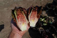 Intred Lettuce Seeds, Agriculture, Food, Essen, Meals, Yemek, Eten