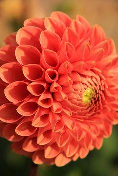 Dahlia Calla Lily, Amazing Gardens, Dahlia Flowers, Ipad, Landscape, Rose, Creative, Pretty, Nature