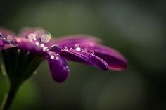 Fotografía Flower with Rain por Dori Schulze en 500px