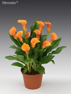 Zantedeschia 'Calla Mercedes'. Calla Lilies make excellent pot or patio plants. They also grow well when transplanted into the garden, but are not hardy. Plant in well drained soil and full sun for best growth. Sun and shade tolerant.