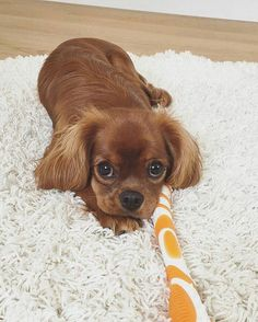 Discover Fun Cavalier King Charles Spaniel And Kids King Charles Puppy, Cavalier King Charles Dog, King Charles Spaniel, Cute Baby Dogs, Cute Dogs And Puppies, Cute Baby Animals, Doggies, Cavalier King Spaniel, Puppy Facts