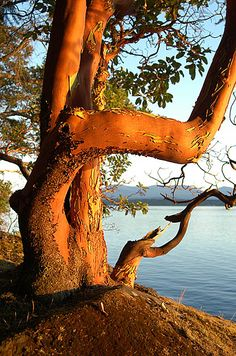 """my favourite tree which is native to west coast from BC to California """"Arbutus Tree - Pender Island, British Columbia"""" Pinned from Rica Reimer Arbutus Tree, Old Trees, Pintura Country, Tree Forest, Trees And Shrubs, Vancouver Island, Tree Art, Tree Of Life, British Columbia"""