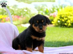 Rottweiler Puppies For Sale In PA!
