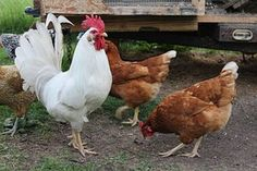 If by chance you are new to raising chickens, these 10 tips will ensure your backyard chickens stay upbeat and sound.