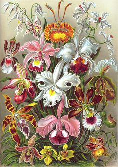 Haeckel Painting - Orchidae Orchids by Ernst Haeckel