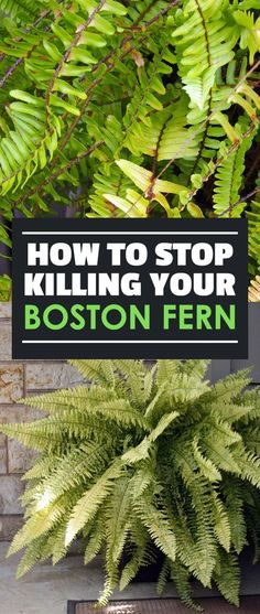 Container Gardening - An Answer To Minimal House For Increasing Vegetation The Lush, Deep Green Fronds Of The Boston Fern Can Really Bring Color To Your Home, Inside And Outside. Get familiar with All About Them With Our Growing Guide Indoor Ferns, Potted Ferns, Outdoor Plants, Fern Care Indoor, Ferns Garden, Garden Shrubs, Potted Garden, Green Garden, Flowers Garden