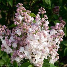 Syringa vulgaris Belle de Moscou - Lilas double blanc légèrement rosé.