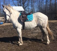5 Year Old Connemara Gelding