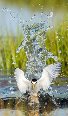 Least Tern. Photo: Doug German/Audubon Photography Awards