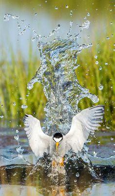 Least Tern. Photo: Doug German/Audubon Photography Awards