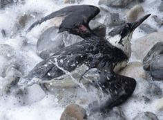 Feb 14, 2013. Marine pollution incidents kill thousands of seabirds – killed or rendered helpless by a mystery substance from a pollution event off the south coast of England, Ireland and North Seas. It's still legal with conditions to discharge hazardous noxious chemicals, such as PIB, directly into the sea when washing out cargo tanks. As a result, birds found washing up along the shore, covered in this horrible substance they were literally stuck to the beach – still alive but unable to…