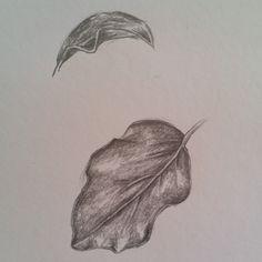 griselinia littoralis 'broadway mint' leaves