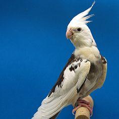 Galerie. Herzlich Willkommen! Fast alle Vögel die in der Galerie gezeigt werden, sind auch bei mir zu besichtigen. Caique Parrot, Funny Parrots, Funny Cute Cats, Cockatiel, Pet Birds, Pets, Haiku, Butterflies, Animals